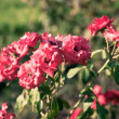 Rose in a park — Stock Photo