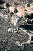 Modelo en ovejas — Foto de Stock