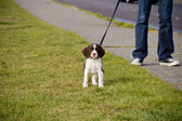 Curious Springer Spanial Puppy — Stock Photo