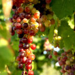 In vineyard - Stockfoto