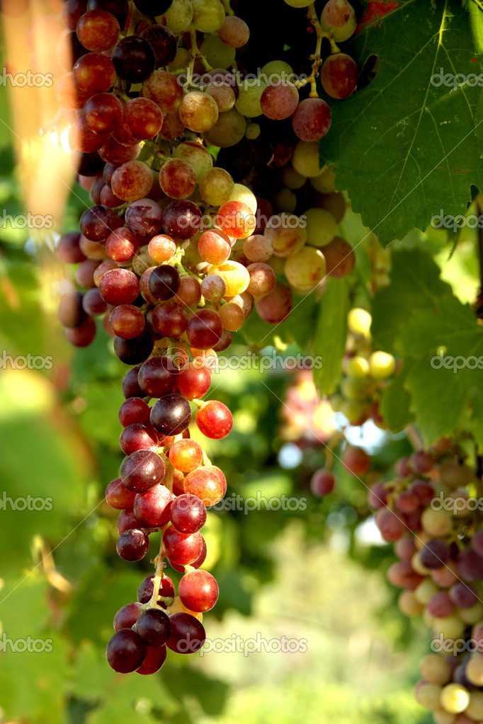 Wine grapes detail  Stock Photo #6847084
