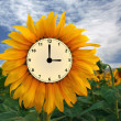 Sunflower clock — Stock Photo