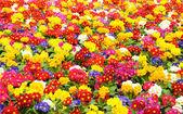 Primrose (Primula vulgaris) — Stockfoto