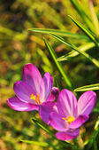 Crocus — Foto de Stock