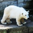 Polar bear at zoo — Stock Photo