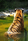 Back view of a tiger in water — Stock Photo