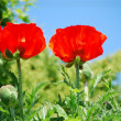 Garden poppy - Stock Photo