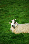клонированные овцы — Стоковое фото