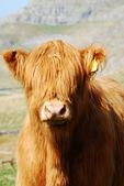 Cow portrait — Stockfoto