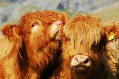 Farm cows — Stock Photo
