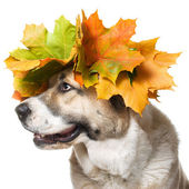 Dog in a maple wreath ,isolated — Stock Photo