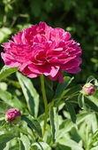Blooming peony in the garden — Stock Photo