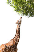 Giraffe takes food, isolated — Stock Photo