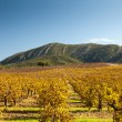 Autumn vineyard. — Stock Photo