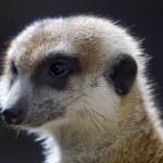 Meerkat Suricate Suricata Suricatta Face Close Up — Stock Photo #7194089