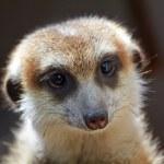 Meerkat Suricate Suricata Suricatta Face Looking — Stock Photo #7194116