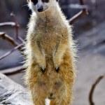 Meerkat Suricate Suricata Suricatta Standing Up — Stock Photo #7195404