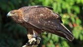 Golden Eagle Aquila Chrysaetos — Stock Photo