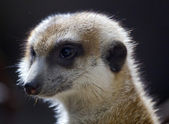 Meerkat Suricate Suricata Suricatta Face Close Up — Stock Photo