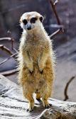 Meerkat suricate suricata suricatta debout — Photo