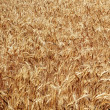 Stock Photo: Ripe Wheat Field Palouse Washington State
