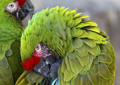 Green Feathers Military Macaws — Stock Photo