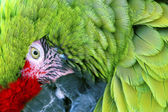 Green Red Feathers Military Macaw Close Up — Stock Photo