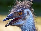Chlupatý emu hlavou zblízka — Stock fotografie