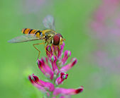 Hoverfly positioned on flower for finding food — Stock Photo