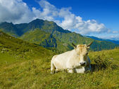 Cow in the Caucasus Mountains — Stock Photo