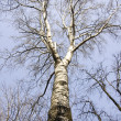 Silver birch tree on the spring's blue sky — Stock Photo