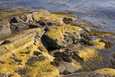 Algae and seaweed in Norway — Stock Photo