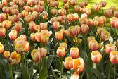 チューリップの花の完全な庭園 — ストック写真