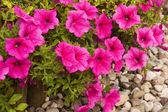 Růžové květy petunie — Stock fotografie