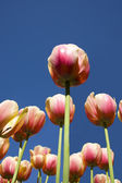Tulips under the blue sky — Stock Photo