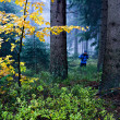 Evergreen forest - Stock Photo