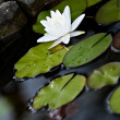 Pond lily — Stock Photo