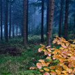 Stock Photo: Evergreen forest