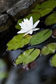 Pond lily — Zdjęcie stockowe