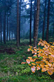 Evergreen forest — Stock Photo