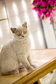 British Shorthair kitty — Stock Photo
