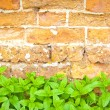 Mint in a garden — Stock Photo