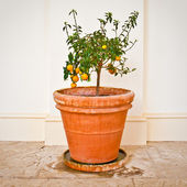 Citrus plant — Stock Photo