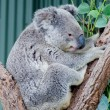 Stock Photo: AustraliKoala
