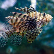Lionfish — Stock fotografie