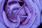Blue rose — Stock Photo