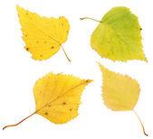 Autumn birch leaves — Stock Photo