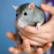 Gray rat — Stock Photo #6996789