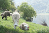 Sheep by the lake — Stock Photo