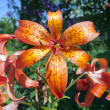 Tiger Lily - Stock Photo